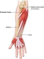 flexor carpi radialis muscle picture 9