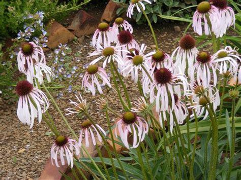 common + cold + echinacea picture 13