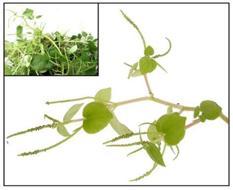 herbal diuretics for hypertension picture 9
