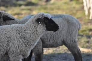 care of hair sheep picture 15