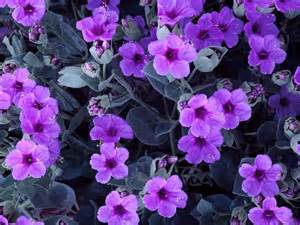 violet picture 2