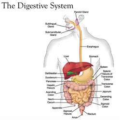 mechanical digestion picture 3