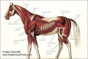horse muscle system picture 11
