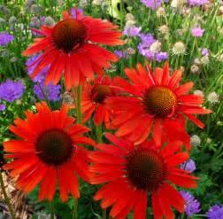 echinacea varieties picture 5