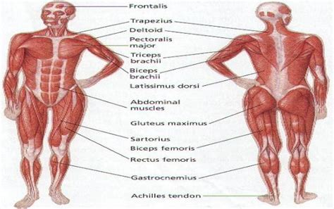 diagram of body muscle picture 3