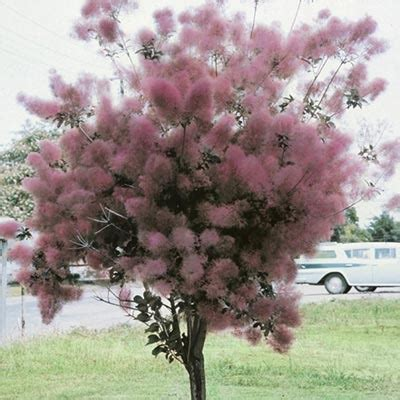 caring for purple smoke trees picture 5