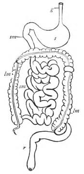 mammalian gastrointestinal tract picture 6