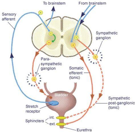 spastic bladder picture 3