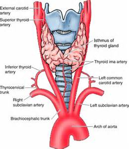 diagrams of nerve supply to thyroid gland picture 11