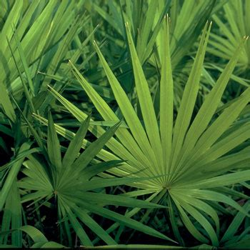 does saw palmetto prevent prostate cancer picture 1