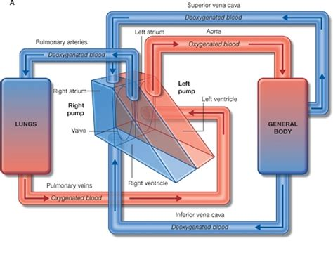anatomy and physiology of blood circulation picture 7