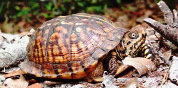 box turtles diet picture 6