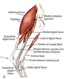 canine bicep joint picture 9