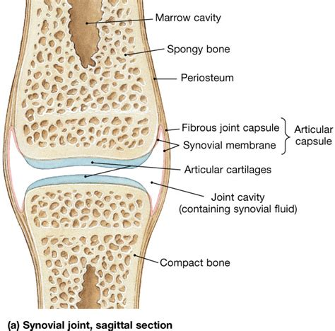 function of joints picture 9