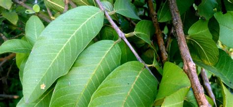 known herbal for abortion in philippines picture 4