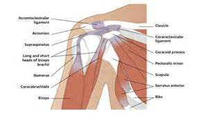 diagram of shoulder joint picture 11