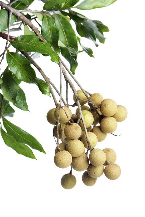 sibucao tree herbal medicine picture 11