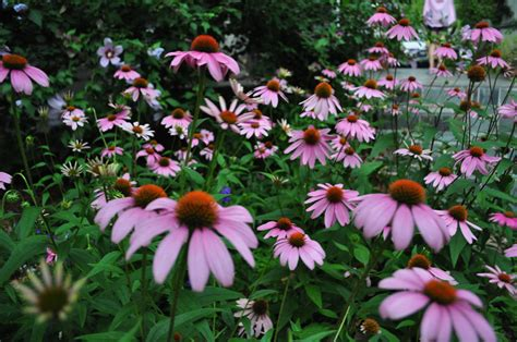 echinacea seeds picture 5