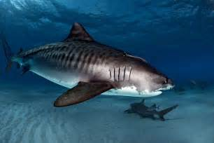 pics of tiger sharks h picture 9