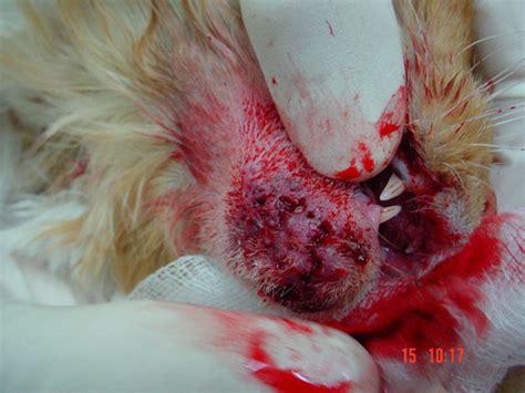 feline acne picture 19