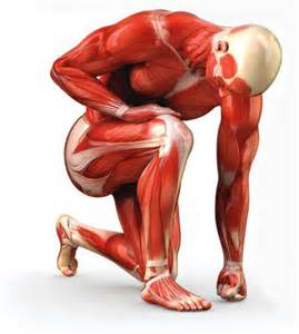testosterone muscle hypertrophy picture 1