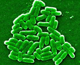 herbal prention of e coli bacteria picture 15