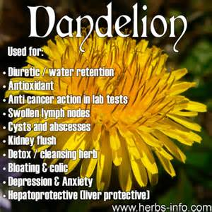benefits of dandelion seeds picture 6