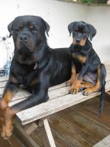 rotweiler aging picture 3