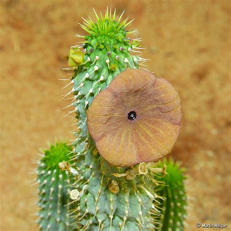 south african hoodia gordonii picture 2