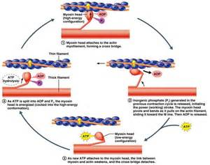 contraction of breast smooth muscle results in: picture 3