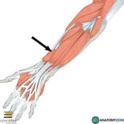 flexor pollicis longus muscle picture 13