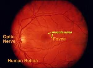 ciliary eye muscle picture 17