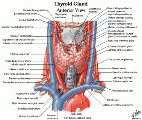 circulation and thyroid picture 18