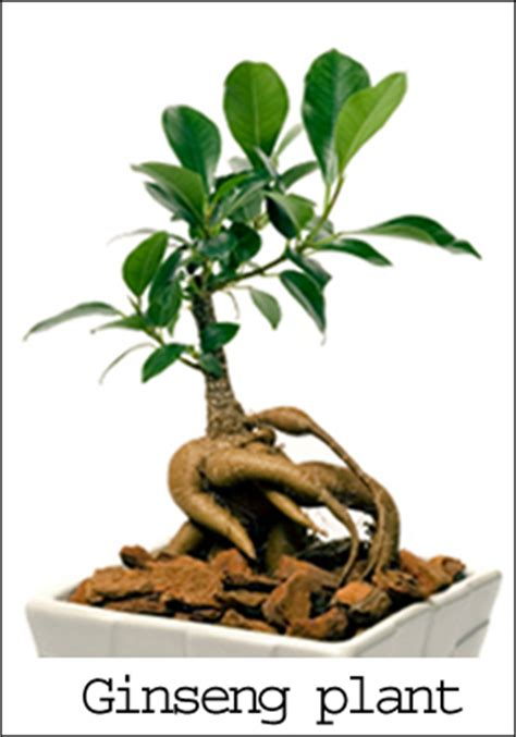 does red ginseng extract raise blood pressure? picture 9