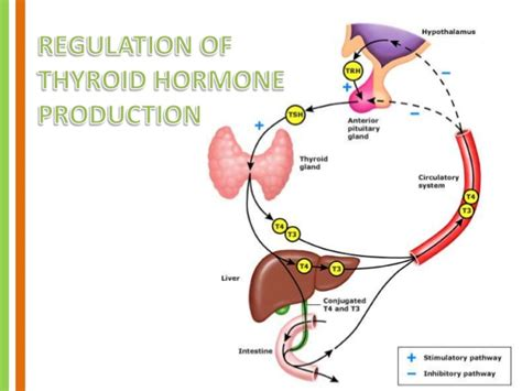 anatomy of the thyroid gland picture 15