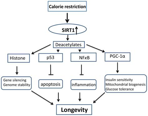 caloric restriction aging skin picture 6