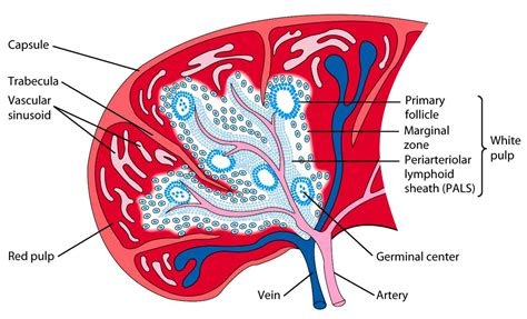 spleen bowel function picture 17