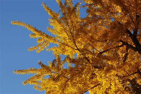 history on the ginkgo tree picture 2