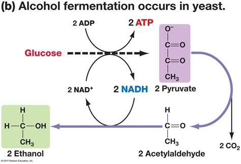 yeast metabolism picture 13