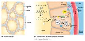 extraction of iodide thyroid cells picture 13