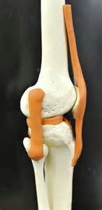 human knee joint picture 2