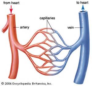 blood flow through the capillaries picture 2
