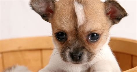 chihuahua h picture 2