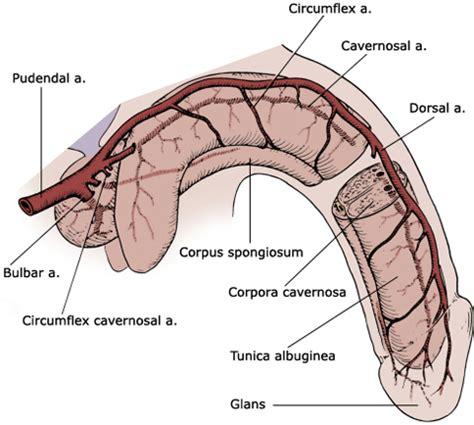 ways to help blood circulation in genitals picture 6