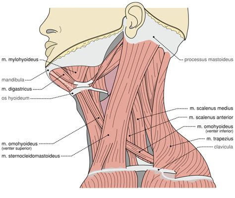 constant muscle spasms neck and shoulders picture 5