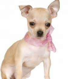 how do you clean chihuahua puppies' h picture 2