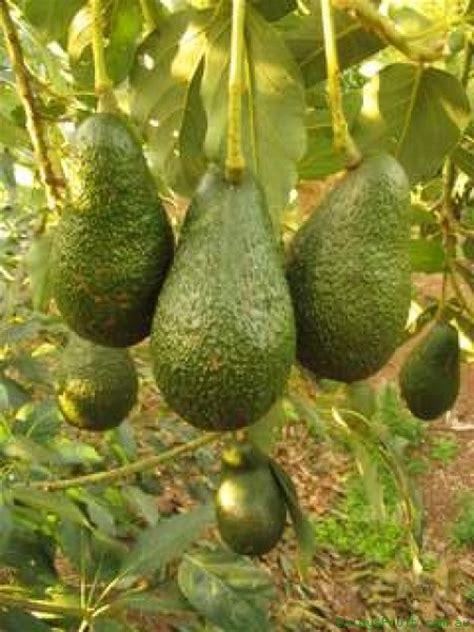 avocado wholesale in philippine picture 10