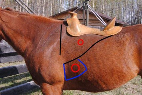 horses and cinch muscle tears picture 1