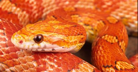 corn snakes h picture 10