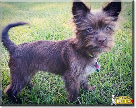 wired hair chihuahua picture 18